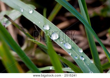 Grass With Dew After Rain