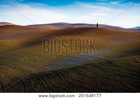 Lonely Cypress Tree In A Tuscan Valey