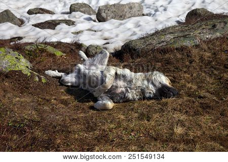 Dog Sleeping On Dried Grass Near Snowfield At Sun Spring Day