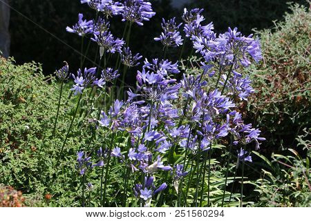 This Is An Image Of Purple Flowers Taken In Full Sun In Carmel, Valley, California.
