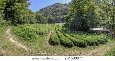 Panorama Of Tea Plantation. Outskirts Of Sochi, Russia. The Photo Shows A Tea Plantation In Dagomys