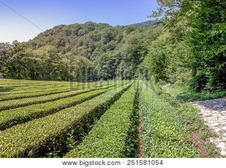 Tea Plantation In The Background Of Mountains. Near Sochi, Russia. The Photo Shows A Tea Plantation