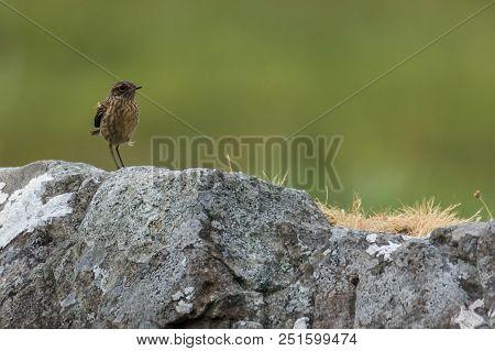 Sitting European Stonechat Saxicola Rubicola In Scotland