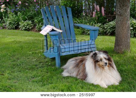 Loyal Shetland Sheepdog laying beside a wooden chair in the backyard. poster