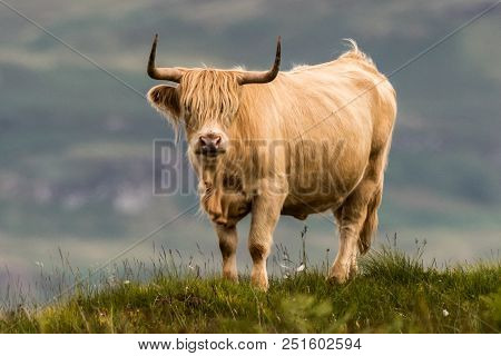 Highland Cattle And  Scottish Gaelic On A  Medow In Scottish Highlands