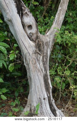 Ghost Eyed Tree