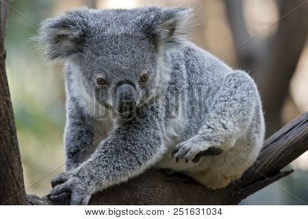 the joey koala is perched in the fork of a tree resting poster