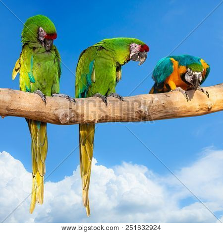 Parrots - Ara Ararauna On Tree And Blue Sky - Aviation Tropical Vacation Concept. Square Photo.