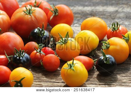 Heirloom Variety Tomatoes On Rustic Table. Colorful Tomato - Red, Yellow , Black, Orange. Harvest Ve