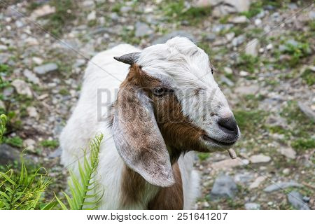 A Young Goat With Small Horns.
