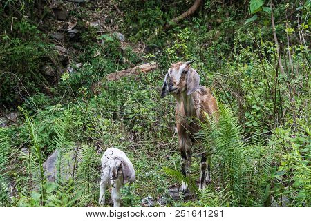 A Young Goat With A Lamb In Green Thickets.