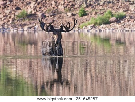 Wild Shiras Moose In The Rocky Mountains Of Colorado. Bull Moose In Lake