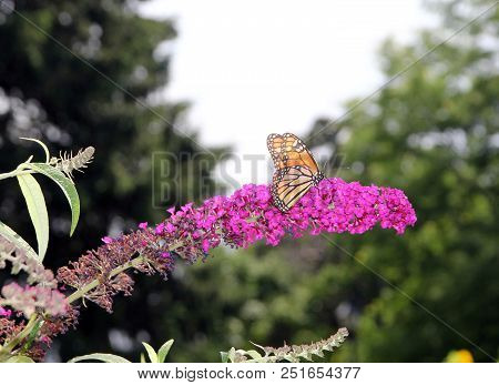 Colorful Butterfly Monarch Sitting On The Flower