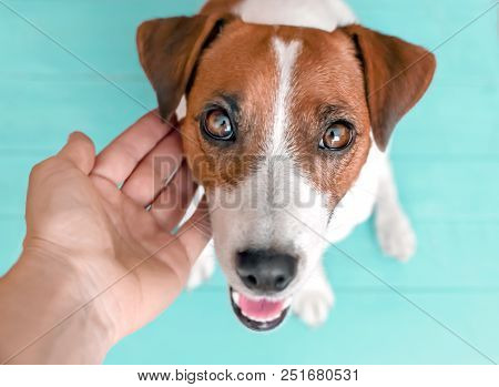 Close-up Portrait Of Curious Happy Cute Dog Jack Russell Sitting On Green Blue Wooden Floor And Look