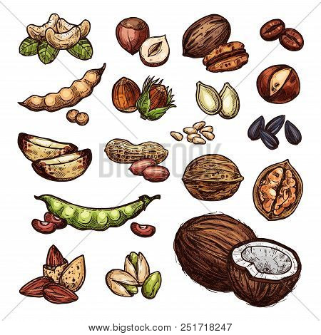 Nuts And Beans Sketch Organic Farm Coconut, Peanuts, Pistachios And Walnuts. Vector Isolated Nuts Ha