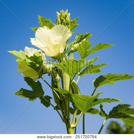 Okra Plant And Flower In Bloom Against Blue Sky Organic Produce Agriculture Square Composition