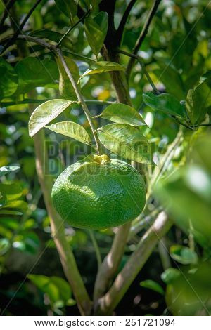 Caribbean Green Sweet Tangerine Fruit Hanging On The Tree.