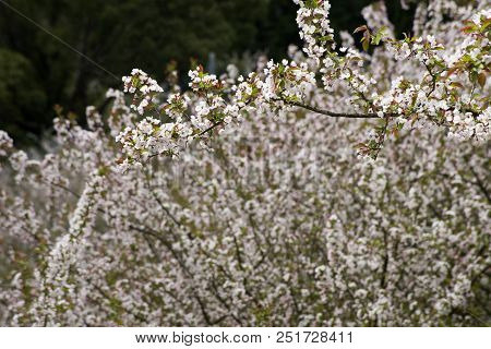 Asiatic Apple Blossoms Of Sideways Branch In Front Of Blureed Flowers