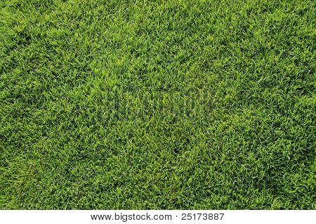 Bermuda grass top view