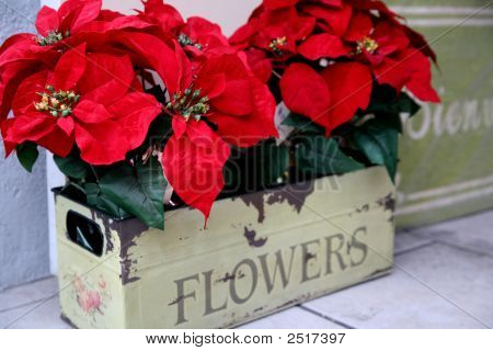 Poinsettas At Christmas Time