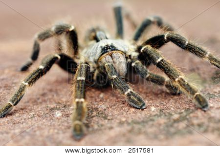 The baboon spider Ceratogyrus is often called tarantula. Is a giant among his comrades 13-90 mm however this was only 60mm poster