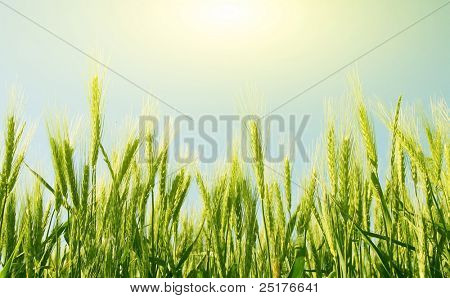 field of wheat on a background sunrise