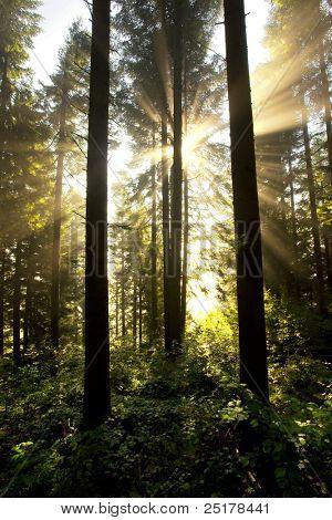 Misty sunrise forest landscape. Carpathian firs wood