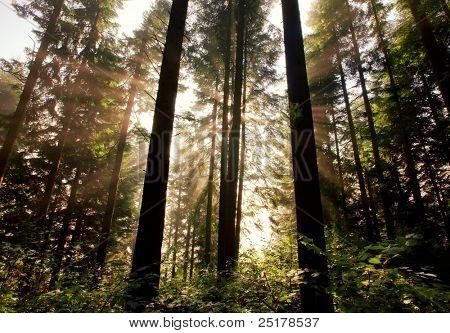 Sunlight through fir trees. Carpathian mountain morning.