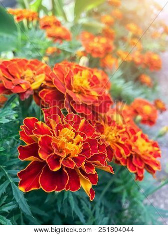 Orange Marigolds Are Blooming Profusely In The Garden. Style Top View Group Objects