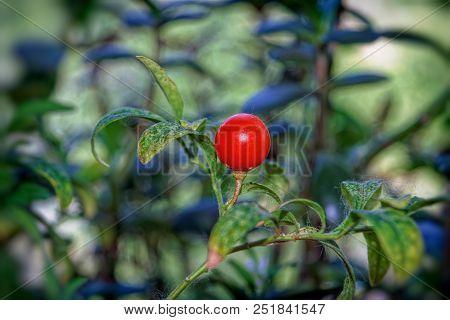 The Bright Orange Berry Of Solanum Or Nightshade
