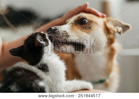 Cute Dog Licking And Smilling Little Kitty In Stylish Room. Woman Holding Adorable Black And White K