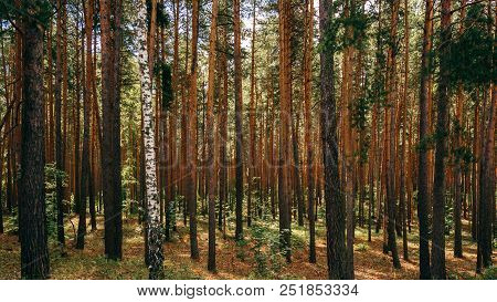 Single Birch Between Pine Trees. Woodland Bacground.