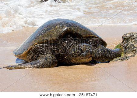 Turtle On Beach