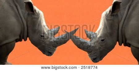 Two Big Rhinos Are Fighting