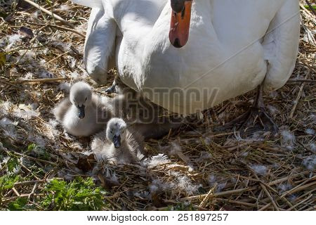 Photo A Of A Female Mute Swan Sitting On Her Nest With Her Signets