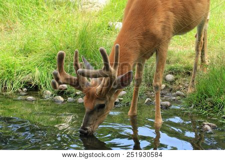A White Tail Deer (buck) With Antlers That Are Still In The Velvet  Stage Drinking Water From A Pond