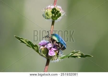 Green Rose Chafer Beetle (cetonia Aurata) Sitting On Pink Flowers Of Bluestone Perennials (phlomoide