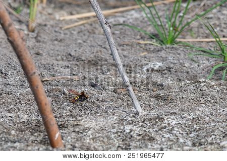 Giant Wasp Or Scolia. Insect In Wild Nature