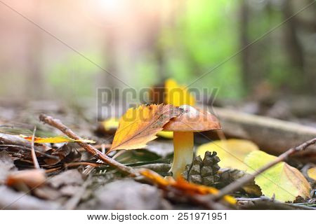 Autumn nature background. Autumn yellow leaf lies on the mushroom cap in the forest. poster
