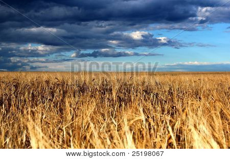 Cornfield In Front Of Thundery Clouds