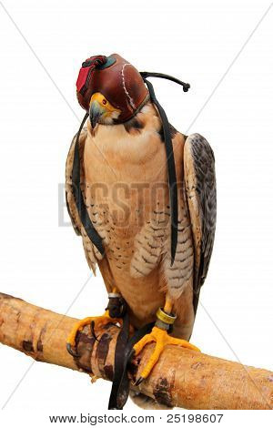 sitting bird of prey with leather cap poster
