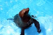 a sea lion comes up for food. poster