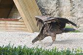 Andes Condor. Birds show in Chateau Bouillon Belgium. poster