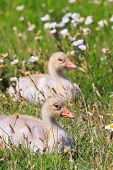 Youngsters of white-fronted goose in a grassland poster
