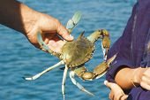 Photo of just caught light blue crab in the fishman hands poster