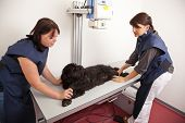 A veterinarian preparing a dog for a x-ray examination poster