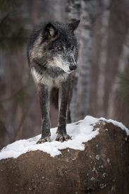 Black Phase Grey Wolf (canis Lupus) Looks Right From Atop Rock - Captive Animal