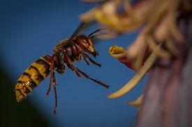 Hornet Is Flying For A Banana Tree