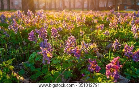 Spring landscape - blooming mauve little flowers of Corydalis halleri under the tree in the spring forest. Selective focus, shallow depth of field