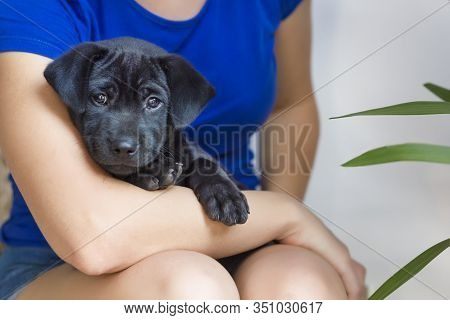 Cute Sad Pensive Little Dog, Beautiful Black Puppy From Shelter Lying On Hands, Arms Of Unrecognizab